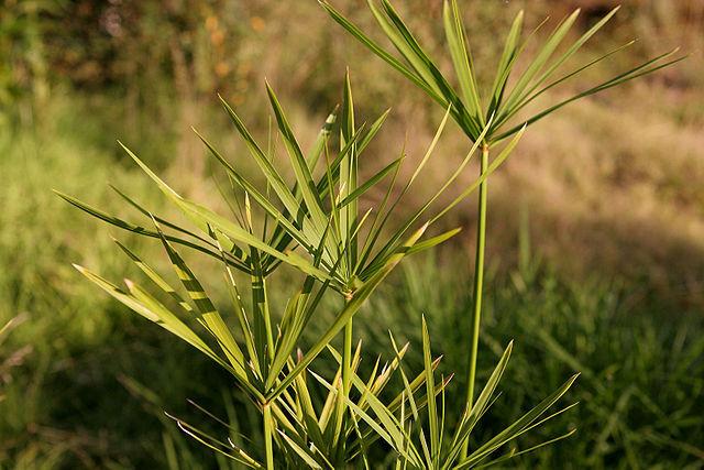 640px-Papyrus_plant